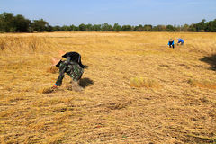Rice fields. Farmers cutting rices on rice fields in Thailand Stock Image