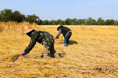 Rice fields. Farmers cutting rices on rice fields in Thailand Royalty Free Stock Photography