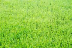 Rice fields. In Thailand Royalty Free Stock Photos