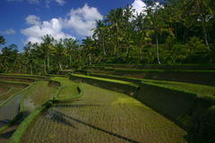 Rice fields Royalty Free Stock Image