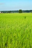 Rice Fields. Photo of lush rice fields in Nepal Stock Photo