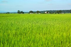 Rice Fields. Photo of lush rice fields in Nepal Stock Photography