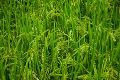 Rice. Of fields Stock Photo