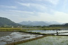 Rice Fields. Rice paddy fields in China Royalty Free Stock Photography