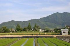 Rice Fields. Rice paddy fields in China Stock Photo