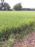 Rice fields. Agricultural crops in the natural royalty free stock photography