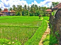 Rice fields along Jalan Bisma, Ubud Royalty Free Stock Photos