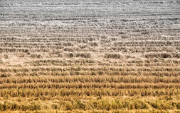Rice fields are already harvested. Using machinery Left a straw and float the wheel of the tractor Stock Images