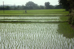 Rice fields in Asia Stock Image