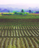 Rice fields in Asia Stock Photo
