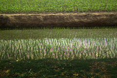 Rice fields in Asia Stock Photos