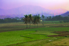 Rice fields in Asia Royalty Free Stock Photos