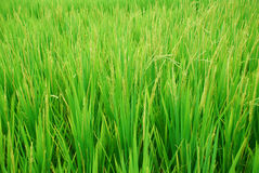 Rice fields background Stock Image