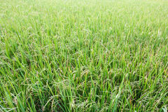 Rice fields background. Royalty Free Stock Image