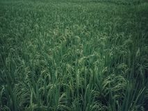Rice fields background. Green leaves background royalty free stock photo