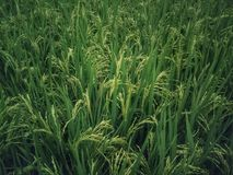 Rice fields background. Green leaves background royalty free stock photography