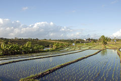 Rice fields in Bali. Terraces flooded while rice grows in the fields Royalty Free Stock Photos