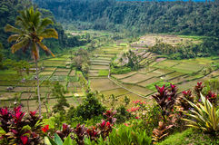 Rice Fields, Bali. Nice view of Bali rice field from the top of a hill Royalty Free Stock Photo
