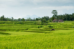 Rice fields in Bali Stock Photos
