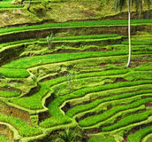 RICE FIELDS IN BALI Stock Photography
