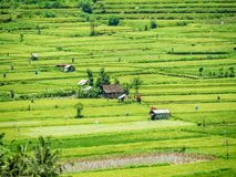 Rice fields in Bali Indonesia. With little shacks and sheds royalty free stock photo