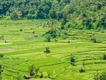Rice fields in Bali Indonesia. With little shacks and sheds royalty free stock images