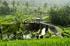Rice fields in Bali, Indonesia Royalty Free Stock Images