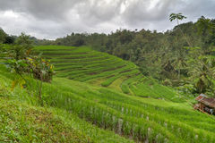 Rice fields in Bali, Indonesia Stock Image