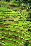 Rice fields, Bali, Indonesia Stock Images