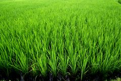 Rice fields, Bali, Indonesia Stock Photography