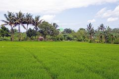 Rice fields on Bali in Indonesia Royalty Free Stock Photos