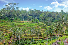 Rice fields in Bali Indonesia Royalty Free Stock Photography