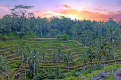 Rice fields in Bali Indonesia Stock Photos