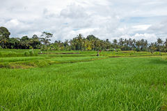 Rice fields in Bali Indonesia Royalty Free Stock Image
