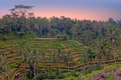 Rice fields in Bali Indonesia Royalty Free Stock Photo