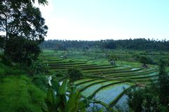 Rice fields in Bali Indonesia stock photography