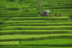 Rice fields in Bali, Indonesia Eat Pray Love Stock Photography