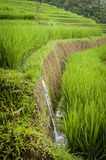 Rice Fields of Bali, Indonesia Royalty Free Stock Photography