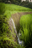Rice Fields of Bali, Indonesia Royalty Free Stock Photos