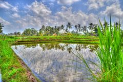Rice fields in Bali Stock Photo