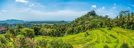 Rice fields in Bali Indonesia. With blue sky on a hot summers day royalty free stock image