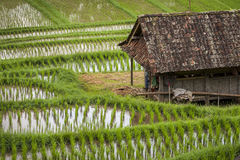 Rice Fields of Bali, Indonesia Stock Images