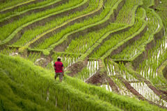 Rice Fields of Bali, Indonesia Stock Photos