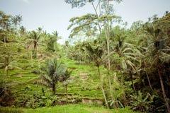 Rice Fields, Bali, Indonesia Royalty Free Stock Photo
