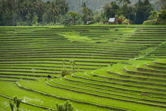 Rice Fields of Bali, Indonesia. The village of Belimbing boasts some of the most beautiful rice terraces in all of Bali. Growers from all over the world come to Royalty Free Stock Image