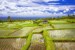 Rice fields in Bali island Stock Photos