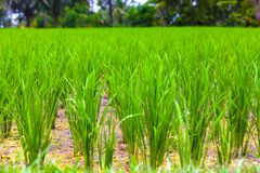 Rice fields in Bali island, Ubud, Indonesia. stock image