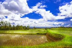 rice fields in Bali Royalty Free Stock Photography