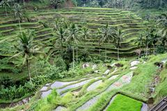 Rice fields in Bali. Rice fields in Ubud Bali stock image