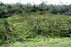 Rice fields in Bali Royalty Free Stock Photo